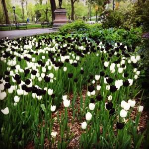 Tulips so …