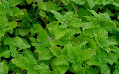Unlock Your Mental State: LemonBalm Infusion for the New Moon in Gemini